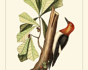 RED-HEADED WOODPECKER - Catesby Birds antique instant digital download reproduction