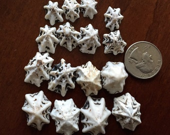 Limpet Shells, Set of 16 Drilled for Jewelry Making or Crafts, Jewelry Supplies, Unique Star Shaped Sea Shells, Colorful Sea Shells