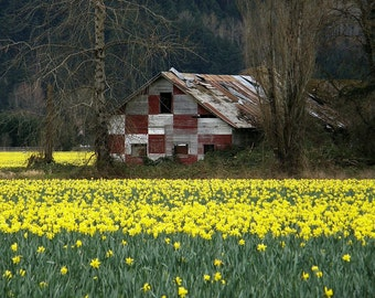 Daffodils & Barn Photo Puyallup Washington, Wall decor, home decor, barn decor, spring decor