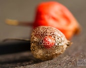 Physalis macro photograph, chinese lanterns, orange and beige, lace, Autumn detail, Nature close up, Botanical print, Bright orange,