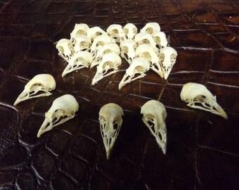 Real animal bone Quail  Skull Head bone taxidermy art craft part man cave rare weird dead fowl game wild bird A13