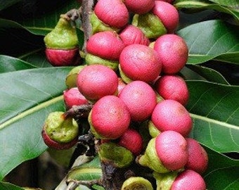 Engkala Litsea Garciae Tropical Fruit Tree