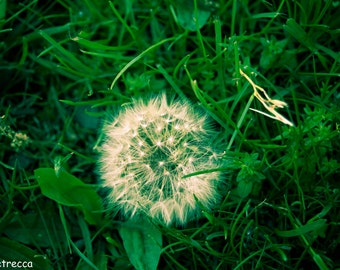 dandelion green grass photo print photography 11x14