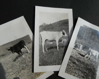 Collection of 3 Small Snapshot Photos - Cows on Farm
