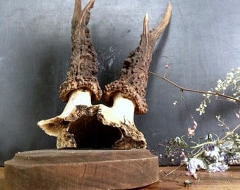 Antique Mounted Deer Antler with Skull On Wood