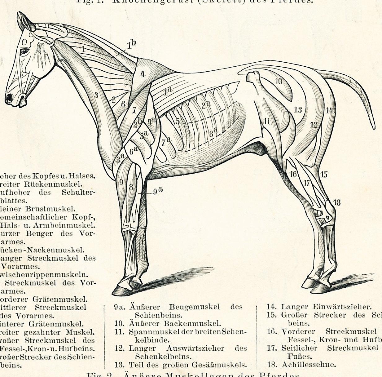 Horse anatomy print horse skeleton print horse muscle system leg ...