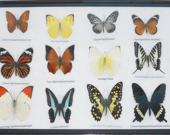 REAL 12 BEAUTIFUL BUTTERFLIES Collection Framed/BF16A
