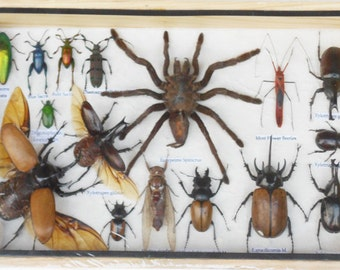 REAL Multiple INSECTS BEETLES Spider Cicada Collection in wooden box/is08HH
