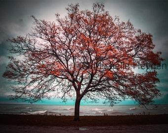 "Fine Art Photographic Print on Metallic Paper- 8"" x 10""- ""Transition""- Fall Tree"
