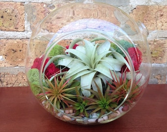 Jumbo Easy Care Low Maintenance Xerographica Air Plant Terrarium - A Unique Mothers Day or Birthday Gift