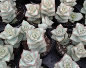 Succulent Plant - Crassula Perforata String of Buttons Unique Plant Looks Like Stacked Square Buttons