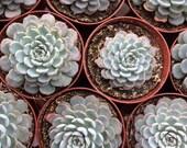 Succulent Plant - Echeveria Minima Blue/green rosette