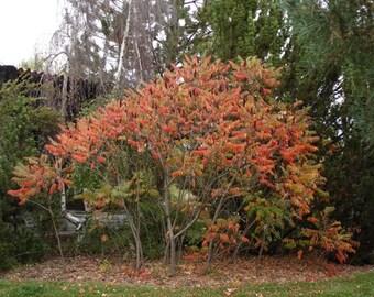 Smooth Sumac Tree Seeds, Rhus glabra - 25 Seeds