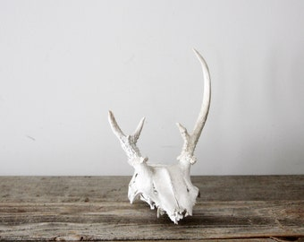 Vintage Skull and Antlers Taxidermy Specimen