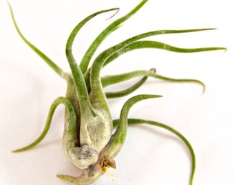 Large Air Plants - Large Caput Medusae Air Plants - Nice & Big 5 to 7 inches tall - 30 Day Air Plant Guarantee - FAST SHIPPING