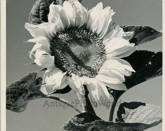 Sunflower vintage art photo