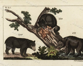 1817 Antique Original Hand colored Engraving  Of Animals -  Natural history- Black Bears Tobias Wilhelm Over 200+ Years old