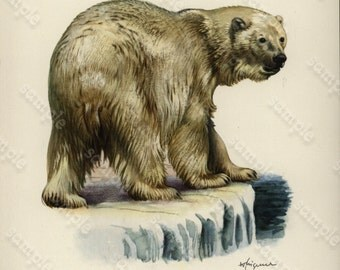 Original Vintage Natural History Print From Dutch Encyclopedia Polar Bear -  Decorative art print Original Not a reproduction.