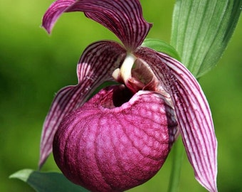 Orchid Seeds Tibet Cypripedium , orchids seeds , monkey flower seeds, rare orchids, code 269 , orchid collection, gardening, flower seeds
