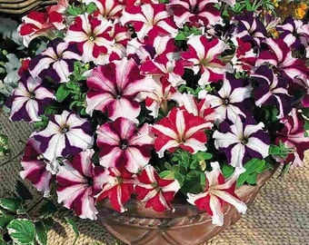 Petunia grandiflora star mixed,434,heirloom seeds,heirloom flower seeds,colorful flower,mix petunia seeds, gardening, flower seeds