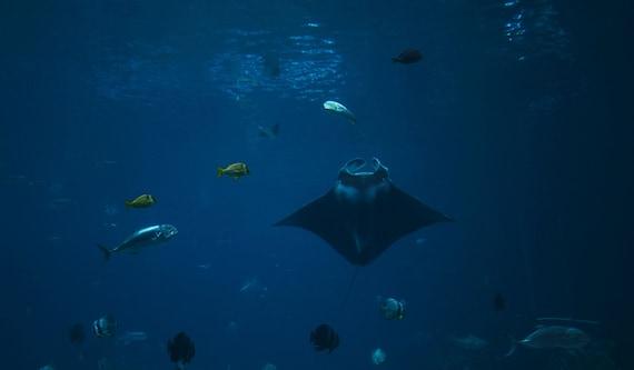 Items similar to manta ray swims toward the light fish for Nemo light fish