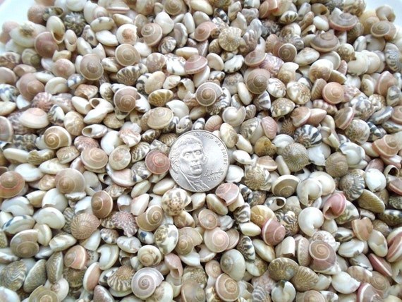 Mini tiny striped spiral umboniums mix seashells crafts for Tiny shells for crafts