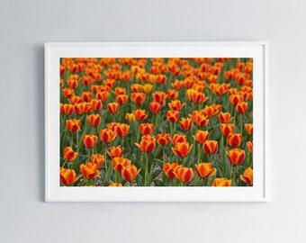 Orange Tulips • Flowers