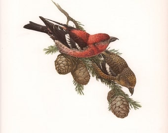 JF Lansdowne Print Book Plate Art, White-Winged Crossbill