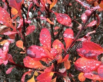 morning Dew, digital download. photo, red,rain