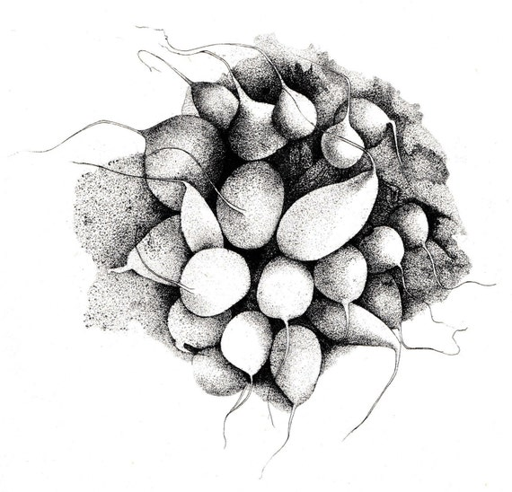 Vintage print of etching by Beth Van Hoesen, bunch of radishes, black on cream paper, beautifully detailed, 8 x 9.5 inches, 1972