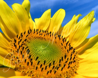 Yellow Sunflower, Sunflower, Flower Yellow flower, Spring, Floral