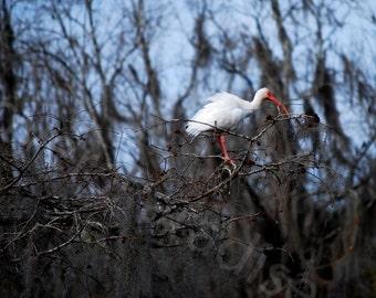 White Ibis Photo // Bird Photo // Florida Nature Photographic Print // Ibis Photo