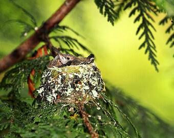 Hummingbird Baby, Baby Birds, Bird Nests, Hummingbird Print, Mothers Day Gift, Bird Photography,Forest Print,Cedar Tree,Wildlife Photography