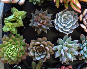 Succulent Plants in Pots. You choose 4 plants from the small plant section of my shop shipped in pots!