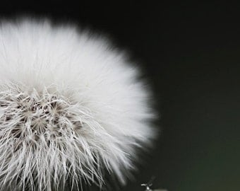 Dandelion Wall Art Print, Dandelion Art, Flower Photography, Nature Photography, White Flower, Black and White Home Decor