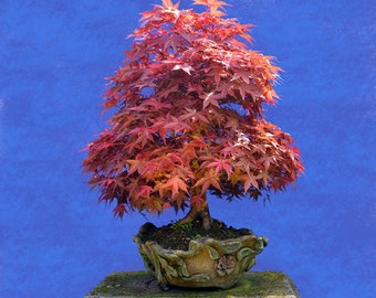 BONSAI - Japanese Redleaf Maple