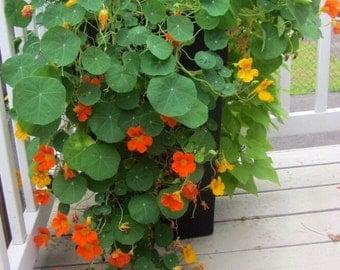 Climbing geant Orange and yellow nasturtium seeds for outdoor design. 25 seeds