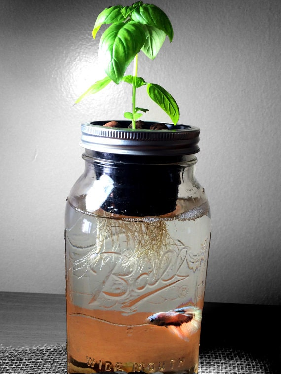 Diy Hydroponics Mason Jar Aquaponics At Home