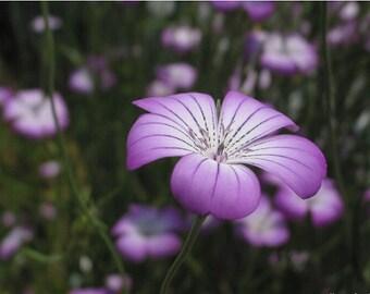 Purple Queen Agrostemma Flower Seeds / Self-Seeding Annual 50+