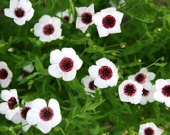 Bright Eyes Flax Flower Seeds / Linum Grandiflorum / Annual 50+