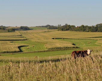 Photo of Cow and Field – Farm Animal Wall Art – Photo of Minnesota Field – Rural Landscape - Landscape Photography