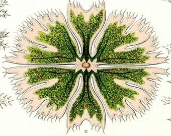 Green Algae, Algae Green, Algae Art, Green Scientific, Art Green, Scientific Art, Green Art, Art scientific, Scientific Green, Ernst Haeckel