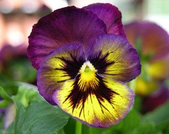 Deep Purple Pansy Photograph #129