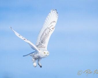 12x18 Metal Print: Snowy Owl in Flight - ready to hang!