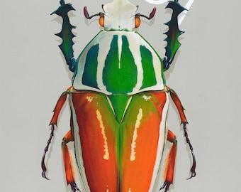 07 Goliath Beetle
