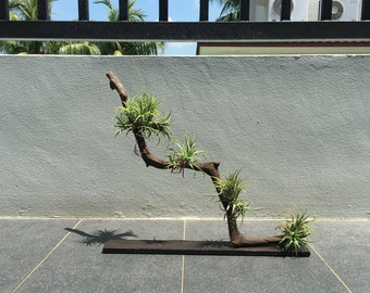Home/Office Decor - Zen/Minimalist style Air Plant on Aquatic Driftwood Mount