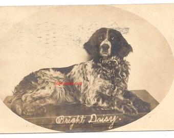 Vintage dog postcard Irish Setter Bright Daisy animal pet