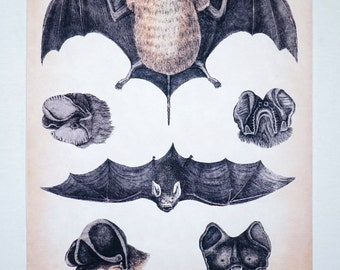 LARGE 1800's LITHOGRAPH Flying Bats REMASTERED antique Animal Drawing Illustration Print 18x24