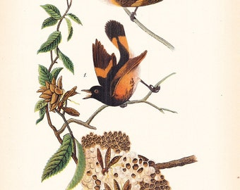 1890 Audubon Bird Print - American Redstart - Vintage Antique Book Plate Natural Science or History Lover Great for Framing 100 Years Old