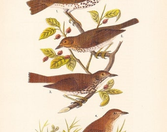 1890 Audubon Bird Print - Thrush - Vintage Antique Book Plate Natural Science History Great for Framing 100 Years Old